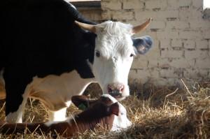 Коровы герефордской породы «прописались» в СПК «Барсеево»