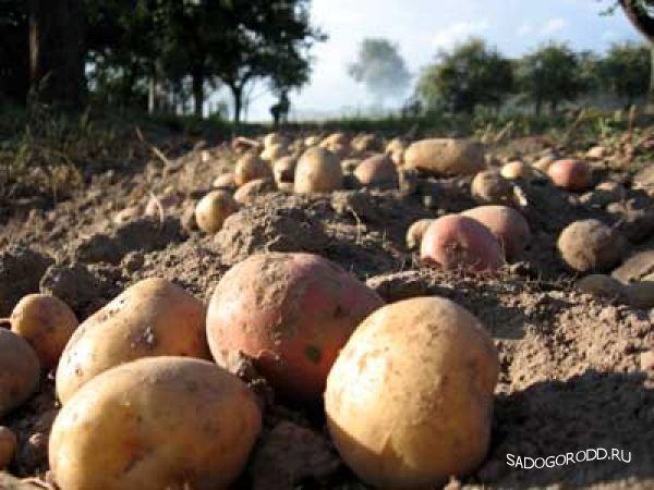 В КУСП «Крынки» Лиозненского района приступили  к уборке картофеля