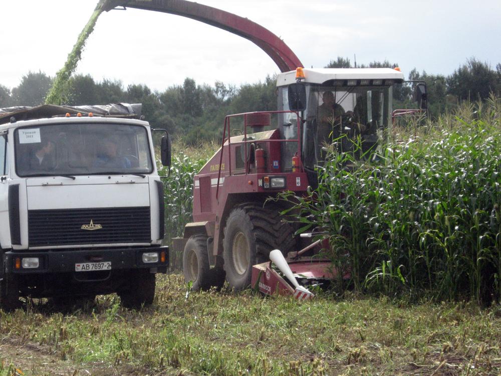 В СФ «Клевцы» вырастили рекордный для Лиозненского района урожай кормовой кукурузы