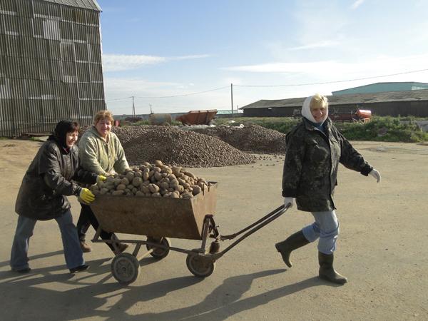 Справиться с закладкой урожая картофеля на зиму помогают горожане и пенсионеры