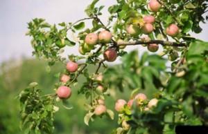 На Лиозненщине больше не цветут яблоневые сады