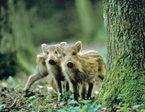 Дикое свинство, или Сезон охоты объявлен открытым