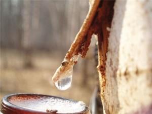 ГЛХУ «Лиозненский лесхоз» начало заготовку березового сока для населения