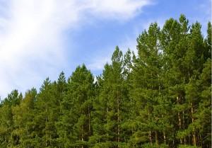 В Лиозненском районе снят запрет на посещение лесов