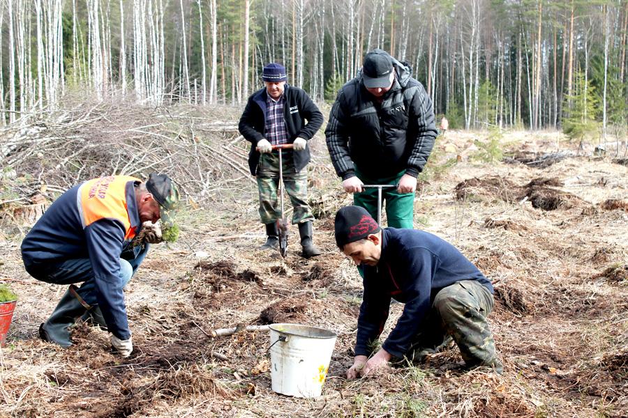 За время проведения «Недели леса» посажено 50 га молодых деревьев