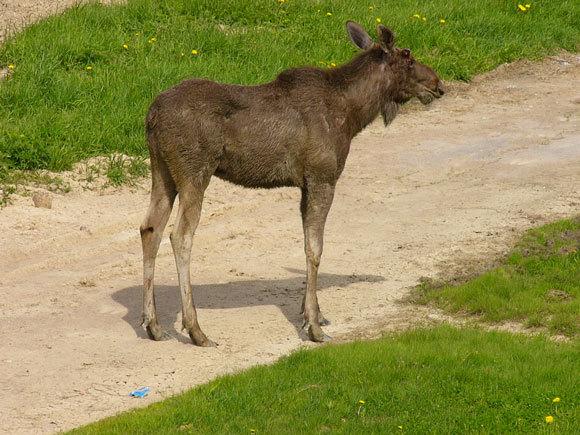 В воскресенье лоси ходили по Лиозно