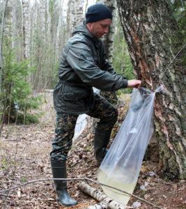 В Лиозненском лесничестве производится заготовка берёзового сока